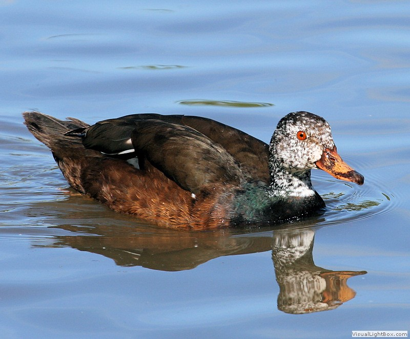 Perching Ducks Identification - List of Perching Ducks - Wildfowl ...